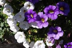 Petunie (Gartenzauber) Tags: natur sony garten blume coth coth5 alittlebeauty fantasticnature thesunshinegroup ngc npc