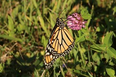 2018 Monarch Butterfly 048 - Danaus Plexippus (Chrisser) Tags: insects insect butterflies butterfly monarch danausplexippus nature ontario canada canoneosrebelt6i canonef75300mmf456iiiusmlens nymphalidae