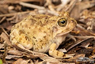 Tomopterna delalandii - Cape Sand Frog