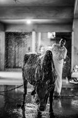The last bath. (A. adnan) Tags: bw monochrome bath shower water splash family cow eiduladha eid festival islam muslim bangladesh chittagong