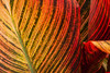 Leaves of a Canna Lily (San Francisco Gal) Tags: canna lily flora leaf