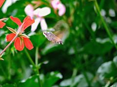 Hummingbird hawk-moth (Jurek.P) Tags: motyle motyl moth ćma polskikoliber furczakgołąbek hummingbirdhawkmoth europe poland polska insects closeup jurekp canonpowershots5is