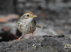 Puff-throated Babbler (PakSu KamaPhoto) Tags: nature bird birds babbler