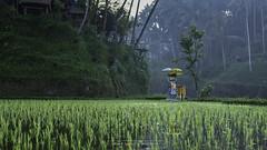 Bali - Rizières de Tagallalang (Nat_L2_photographies) Tags: jaune bali rizières tegallalang indonésie vert rice fields greenland temple hindouisme