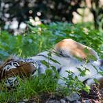 Amur tiger lying on the ground thumbnail