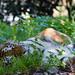 Amur tiger lying on the ground