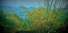 INDONESIEN; SULAWESI, von Makassar nach Tanah Toraja, Bambus, 17582/10588 (roba66-on vacation) Tags: sulawesi urlaub reisen travel explore voyages rundreise visit tourism roba66 asien asia indonesien indonesia insel celebes island île insulaire isla landschaft landscape paisaje nature natur naturalezza mountains montana mountain berge range felsen rock rocks bambus