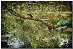Sigiriya Lion's Rock - Kingfisher (UfoSp@in ஐ★Freelance Photo★ஐ) Tags: srilanka sigiriya lions rocksinhagirirey kasyapamataleமாத்தளைcanon eos 5d mark iicanon m50colorscolorstoneskysolphotoshopphotophotographyphotomatrixpaintpartypaisajesretoquesexposureexploreeosefviewvacancywaterwalkwindwalkingwallroca del leónbeatifulbokehbestbellezasnightnegronubescloudscanon ef 24105mm f4 l is usm myself mac macbookpro macbook live love luz light lightroom landscape lugares lens diafragma fotografia grabado happy hdr kinvara kandy landscapes style 2018 alcedoatthis martinpescador kingfisher