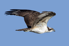 Osprey (Ed Sivon) Tags: america canon nature lasvegas wildlife wild western southwest desert clarkcounty vegas flickr bird birdofprey henderson nevada