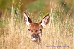 Hold Your Head Up High........... (law_keven) Tags: deer reddeer richmond england uk london animals photography wildlife wildlifephotography