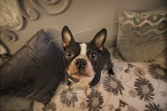 Boss (aevo69) Tags: french bulldog british shabby chic funny comical pet andy evans andyevanscreations