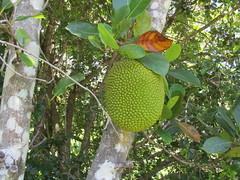 Jack fruit (marsh_maureen) Tags: jackfruit fruit green knobbly