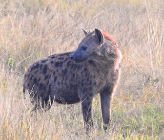 1529ex2 Spotted hyena in grasses