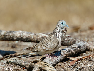 Peaceful Dove