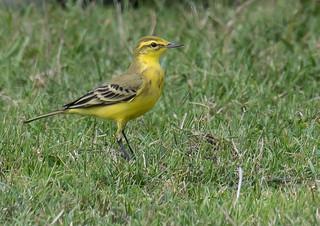 DSC2836  Yellow Wagtail..