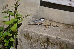 2018-09-10 Bird Watching 10 (s.kosoris) Tags: skosoris nikond3100 d3100 nikon bird birds chickadee camp huronian