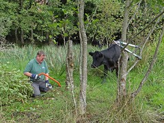 Sometimes we have company ... (Reinardina) Tags: volunteer cow park green man beast bovine nature tools lopper saw