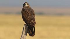 The Look! (Bill G Moore) Tags: swainsonhawk naturephotography raptor wild wildlife laramie wyoming brown post grass canon birdofprey