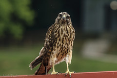 Hey, Hey, Hey, Hey, look at me! (*Ranger*) Tags: nikond3300 nature wildlife raptor birdofprey bird hawk edgarevinsstatepark tennessee usa