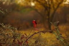 Краски осени / Paints of autumn (Владимир-61) Tags: октябрь осень природа флора листва деревья вечер october autumn nature flora leaves leaf evening sony ilca68 minoltaaf50mm