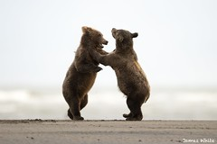 Brown bear cubs playing late in the evening. (Jims Wildlife) Tags: brownbear lakeclarknationalpark alaska ursusarctos