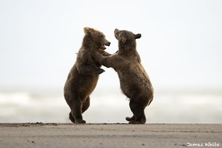 Brown bear cubs playing late in the evening.