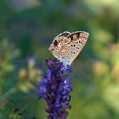 braunling_salbei (olga_rashida) Tags: schmetterling butterfly papillon hauhechelbläuling gemeinerbläuling commonblue argusbleuouazurécommun azurédelabugrane polyommatusicarus