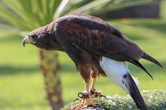 25.Águila de harris. (Manupastor43) Tags: