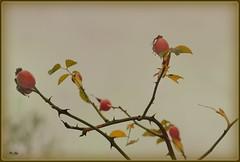 ♦ Escaramujo ♦ Κυνόρο ♦ (jose luis naussa (+3-3 millones)) Tags: ισοανία καρποί frutas albaicín granada αλμπαϊσίν andalucía ríodarrodauro nature españa