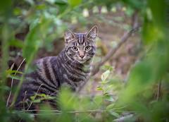 Framed visitor (Dan Österberg) Tags: cat pet animal visitor garden nature frame framed green fur outdoors vegetation