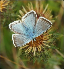 Male Chalkhill Blue on Carline Thistle (glostopcat) Tags: chalkhillbluebutterfly butterfly insect invertebrate wildflower carlinethistle august summer macro glos nationaltrust stroud swelshillbank