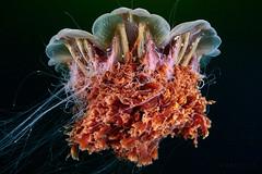 Elder Cyanea capillata (Alexander Semenov) Tags: cyanea capillata jellyfish aquatilis