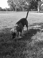 Our Christy May (B&W) (neukomment) Tags: bw blackwhite parks michigan august 2018 summer dogs android