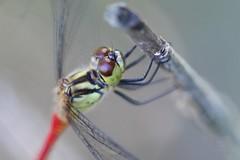 Dragonfly (seiji2012) Tags: 昭和記念公園 立川市 マクロ 昆虫 macro tachikawa showkinenpark blur closeup insect