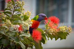 rainbow lorikeet-2 (Mariasme) Tags: bird wildlife colourful red shallowdof