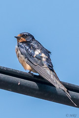 Iridescent Barn Swallow (MelRoseJ) Tags: sunnyvale california unitedstates us sonyalpha sony sonyilca77m2 a77ii alpha nature northerncalifornia bayarea birds swallow