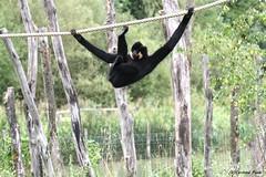 Gibbon à favoris roux_MIKADO (Passion Animaux & Photos) Tags: primate gibbon favoris roux yellowcheeked crestedgibbon nomascus gabriellae parc animalier saintecroix france