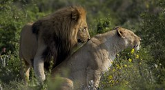 The King and his Queen (Coisroux) Tags: d5500 nikond kwandwe lion lioness safari bushveld southafrica
