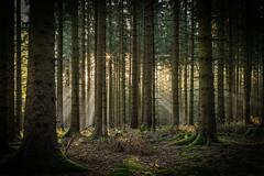 forest series #118 (Stefan A. Schmidt) Tags: warstein nordrheinwestfalen deutschland de forest tree trees sunbeam sun light sunlight