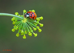Ladybug on the Prowl - Vancouver, British Columbia (Barra1man) Tags: ladybugontheprowl bug insect nature prowl hunting red summer dill dillflowers herb plant garden mygarden vancouver britishcolumbia canada olympusem1 olympus iso800 lens50mm f561400