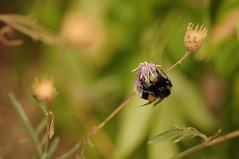 bumble bee (Frau Koriander) Tags: hummel bumblebee insect insekt animal tier blume flower nature natur dof depthoffield nikond300s 60mm nikkoraf60mmƒ28 griesheim griesheimerdüne hessen germany deutschland makro macro biene pflanze plant flauschig bombus