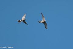 Sparvhök leker med Tornfalk (Hans Olofsson) Tags: bird bivråk fågel fågelar ottenby sparvhök sweden raptors öland sparrowhawk tornfalk kestrel
