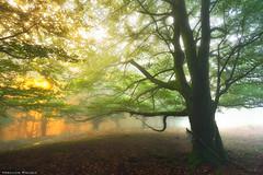 The Awakening of the Forest (Hector Prada) Tags: sunrise amanecer forest bosque mist bruma golden dorado light luz tree árbol fog niebla leaves leaf hojas shadows sombras basquecountry paísvasco woods