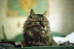(martine.es) Tags: canonae canonae1 cat catlove catlovers cats bigcat bedroom bokeh dof cute animal 35mm expired 35analog expiredfilm 35mmanalog analogue analog analoog rotterdam
