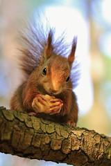 Nice to meet you (Nicky@Photography) Tags: nature arbre animal écureuil parc contrejour contreplongée parcdelatêtedor lyon rhône france