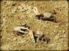 DSCN3196 (DianeBerky19) Tags: nikon coolpixp900 summer estuary marshes lowtide crabs fiddlercrab beach