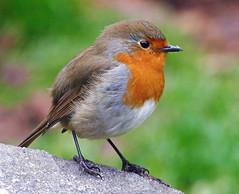 Robin (eric robb niven) Tags: ericrobbniven dundee scotland robin wildlife wildbird nature springwatch