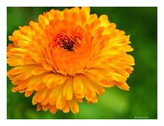 Orange Swirl (Graham Pym On/Off) Tags: floral orange petals nikon coth flower coth5