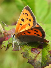 Small Copper Butterfly (Lycaena phlaeas) (Brian Carruthers-Dublin-Eire) Tags: small copper smallcopperbutterfly lphibernica animalia arthropoda insecta lepidoptera lycaenidae lycaena phlaeas lphlaeas lycaenaphlaeas butterfly animal wildlife nature insect outdoor bug creature