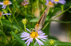 DSC_4319 (Adrian Royle) Tags: finland siilinjarvi travel holiday nature wildlife insect lepidoptera butterfly fritillary macro nikon garden flowers